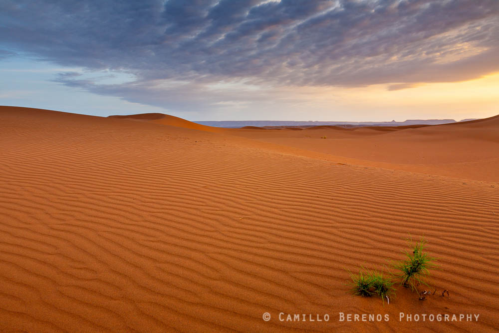 Lone plant in rippled Saharan desert in soft golden morning light as the sun rises. What extreme conditions for a plant to withstand!
